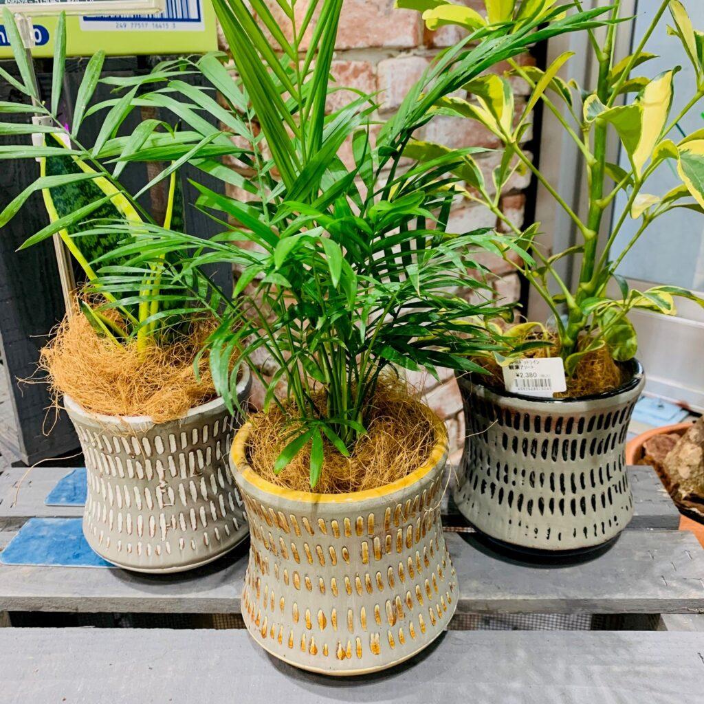 カインズの観葉植物